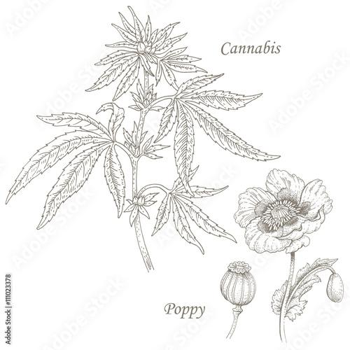 Illustration of medical herbs cannabis, poppy. - 111023378