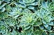 Green rosettes of succulent plant