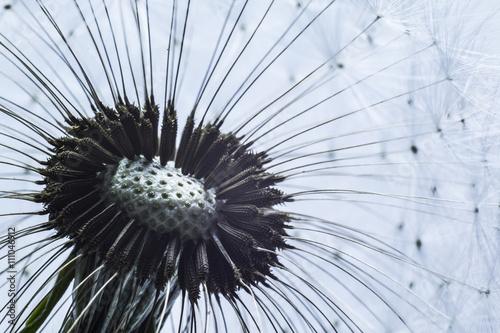 Fototapeta Close up macro of dandelion seeds ready to take flight.