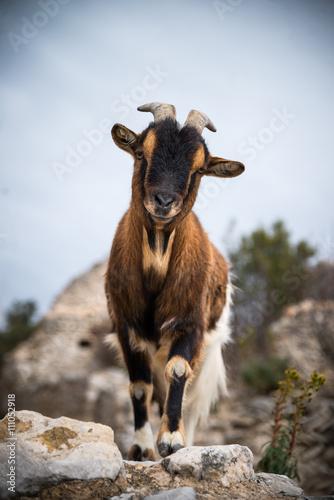 Poster Chèvre de Provence 3
