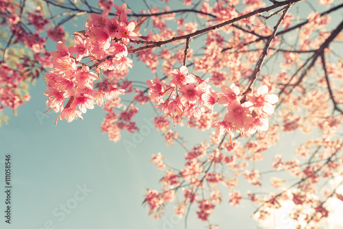 Vintage cherry blossom - sakura flower. nature background  (retro filter effect color) - 111058546