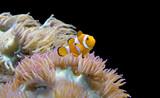 Clown Fish/Orange clown fish swimming near sea anemone