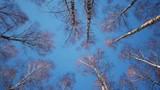 Slider shot of trunks of birch trees in winter forest