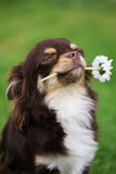 chihuahua dog holding a flower