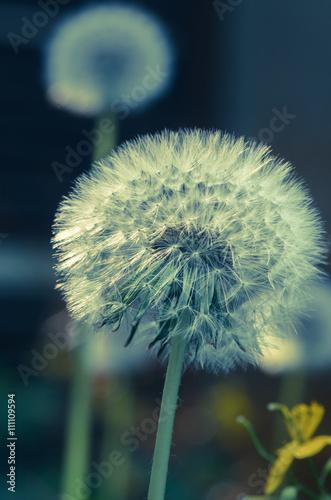 dandelion seeds © aga7ta