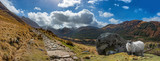 Schaaf am Ben Nevis Schottland Highland - 111152735