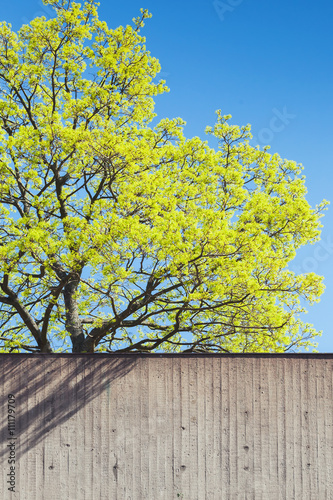 Poster Green tree in spring behind concrete wall