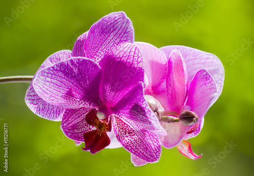 Panel Szklany Purple blooming orchid on a green blurred background