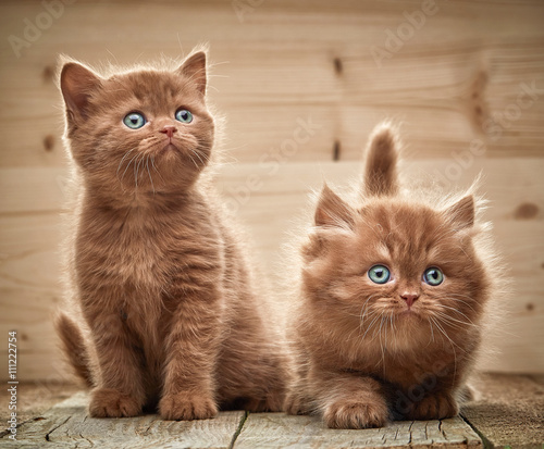 obraz PCV two brown british kittens