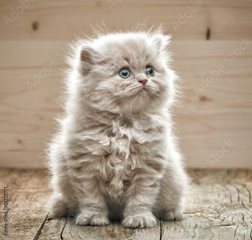 Poster beautiful small kitten