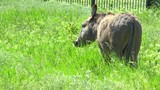 Donkey grazing in a meadow with green grass