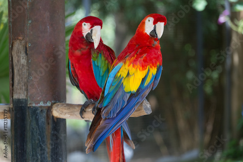 mata magnetyczna Colorful couple macaws sitting on log