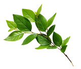 Twig with green leaves - 111251939