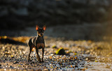 Miniature Pinscher on rocky shore
