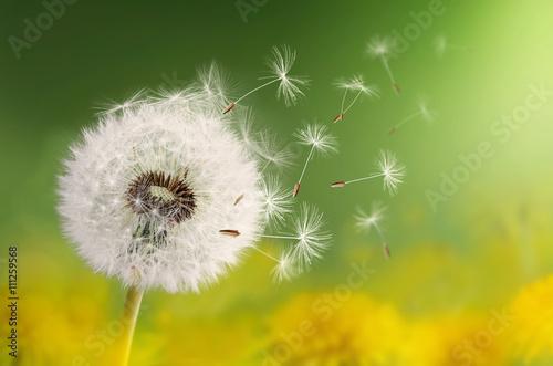 Foto Murales Dandelion seeds