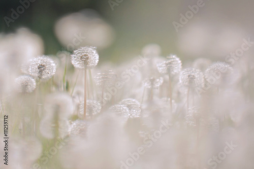 Dandelion on the meadow at sunlight background  - 111259712