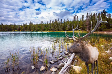 Wonderful antlered deer on cold lake © Kushnirov Avraham