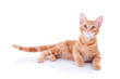 Happy ginger kitten cat laying down isolated