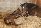 Stute mit Fohlen nach Geburt - 111264753