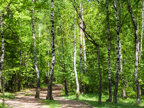 pathway in green birch forest