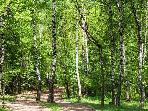 pathway in green birch forest