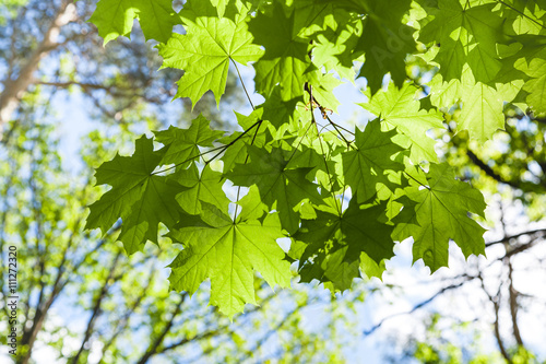maple tree twig with green leaves and blue sky