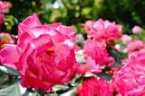 赤い薔薇(聖火)