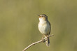 Sedge Warbler, Acrocephalus schoenobaenus, singing