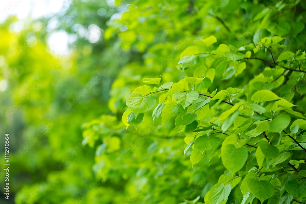Beautiful linden leaves background
