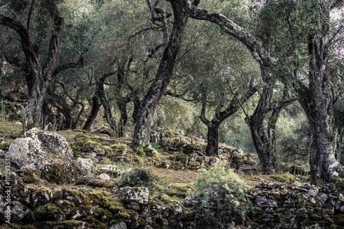 Tuinposter Olijfboom Olivenbäume