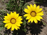 Two yellow with brown stripes gazania flowers