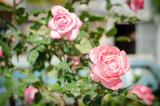 весенние розовые розы