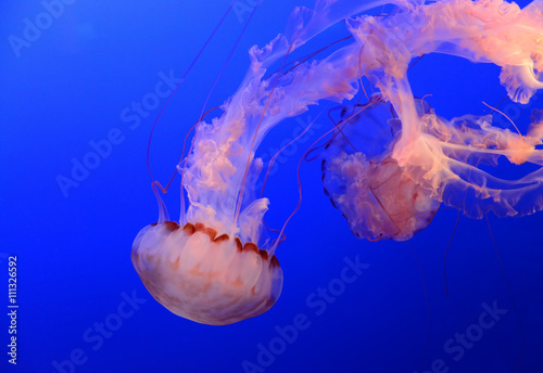 fototapeta na ścianę Medusa Jellyfish