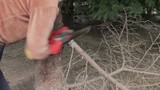 Woman cut a tree branch by hacksaw