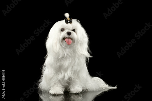 Poster Portrait of Smiling White Maltese Dog Sitting with tie Looking in Camera isolate