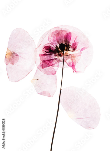 Dry pressed poppy flowers buy photos ap images detailview dry pressed poppy flowers mightylinksfo