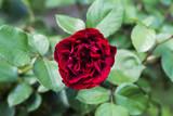 detail of red roses bush