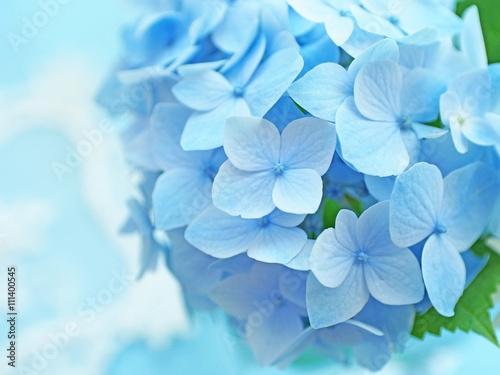 Fotobehang Hydrangea 青いアジサイ