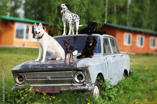 Fototapeta Many beautiful dogs on an old car