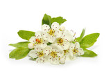 The Hawthorn (Crataegus oxyacantha) flower. The total complex of plant constituents is considered valuable as a remedy for those with circulatory and cardiac problems. - 111414387