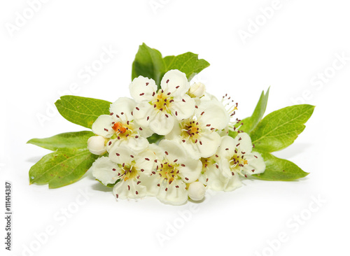 The Hawthorn (Crataegus oxyacantha) flower. The total complex of plant constituents is considered valuable as a remedy for those with circulatory and cardiac problems.