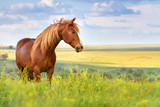 Fototapety Red horse with long mane in flower field against sky