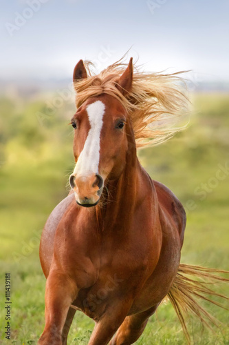 Fototapeta Beautiful red horse with long mane portrait in motion