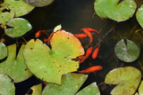 red fish water lily pond