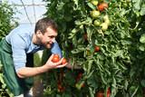 Ernte von Tomaten im Gewächshaus eines Bauernhofes - regionale Gemüseproduktion - 111525347