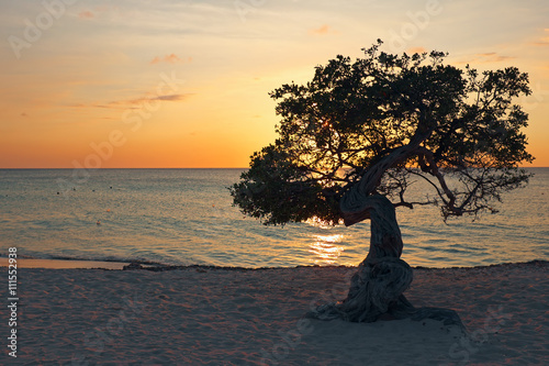 Poster Divi divi tree on Aruba island in the Caribbean Sea at sunset