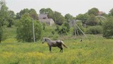 Grey horse on pasture/beautiful gray horse standing on the grass in the field among yellow wildflowers