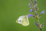 A small yellow butterfly feeding on purple flowers with a bright green background.
