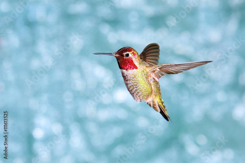 Male Annas Hummingbird in Flight, showing its beautiful gorget,  green backgroun Poster