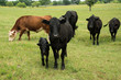 Black angus cow and calf in herd on green pasture
